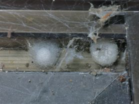 Picture of Steatoda grossa (False Black Widow) - Egg Sacs,Spiderlings,Webs