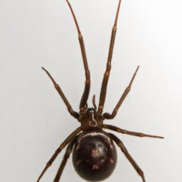 Featured spider picture of Steatoda grossa (False Black Widow)