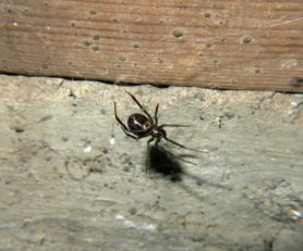 Picture of Steatoda grossa (False Black Widow) - Female - Ventral