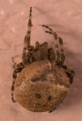 Picture of Araneus gemmoides (Cat-faced Spider) - Dorsal