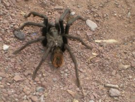 Picture of Aphonopelma spp. - Dorsal