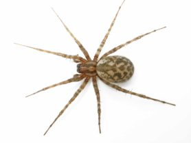 Picture of Tegenaria domestica (Barn Funnel Weaver) - Female - Dorsal,Gravid