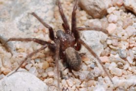 Picture of Tegenaria domestica (Barn Funnel Weaver) - Male - Dorsal