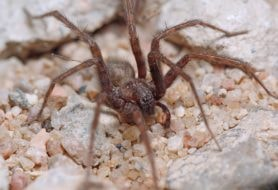Picture of Tegenaria domestica (Barn Funnel Weaver) - Male - Eyes