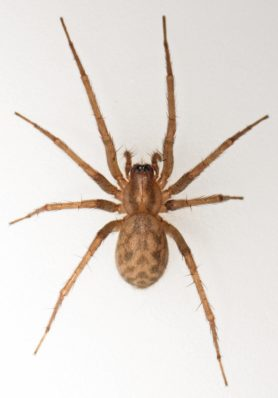 Picture of Tegenaria domestica (Barn Funnel Weaver) - Female - Dorsal