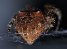 Picture of Araneus illaudatus (Texas Orb-weaver) - Female - Dorsal