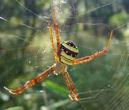 Picture of Argiope pulchella - Female - Dorsal,Webs