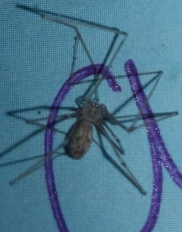 Picture of Pholcus - Dorsal