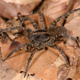 Featured spider picture of Tigrosa georgicola