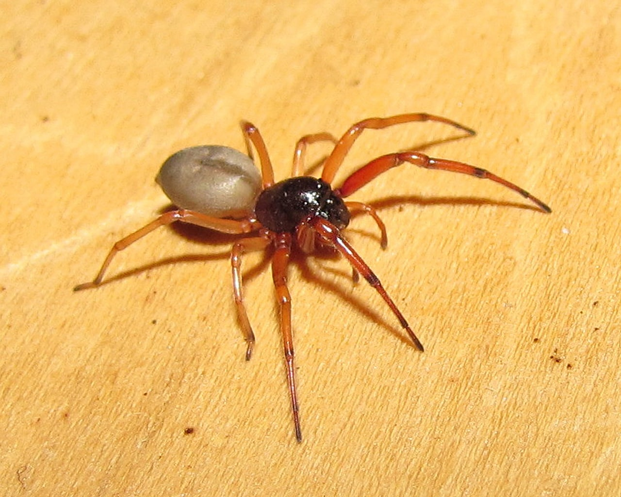 Picture of Trachelas tranquillus (Broad-faced Sac Spider) - Female - Lateral