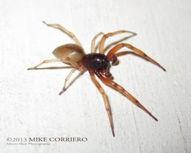 Picture of Trachelas tranquillus (Broad-faced Sac Spider) - Male - Lateral