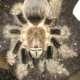 Scorpawe