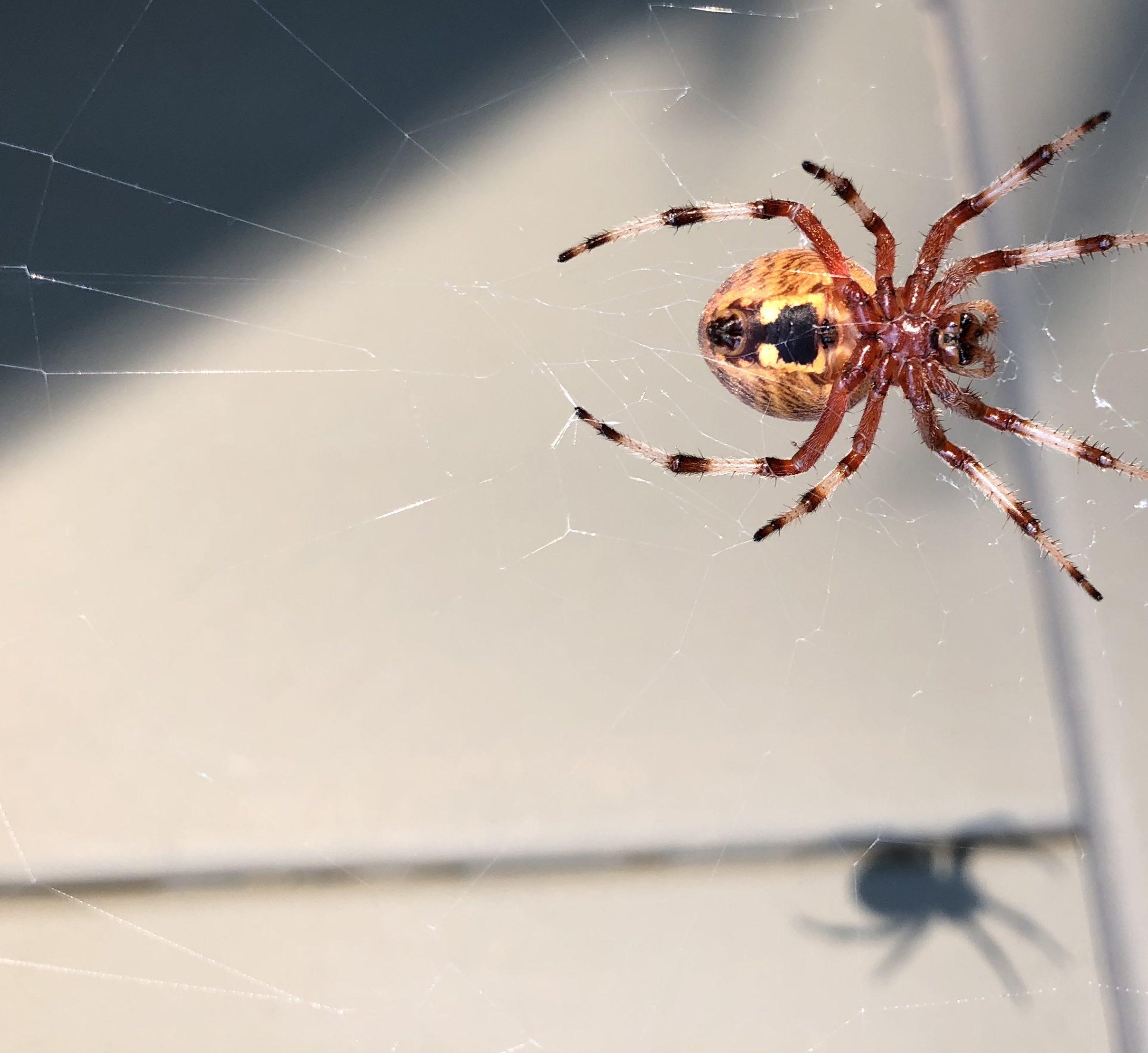 SpiderDeathicus