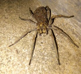 Picture of Lycosidae (Wolf Spiders) - Female - Dorsal,Eyes,Spiderlings