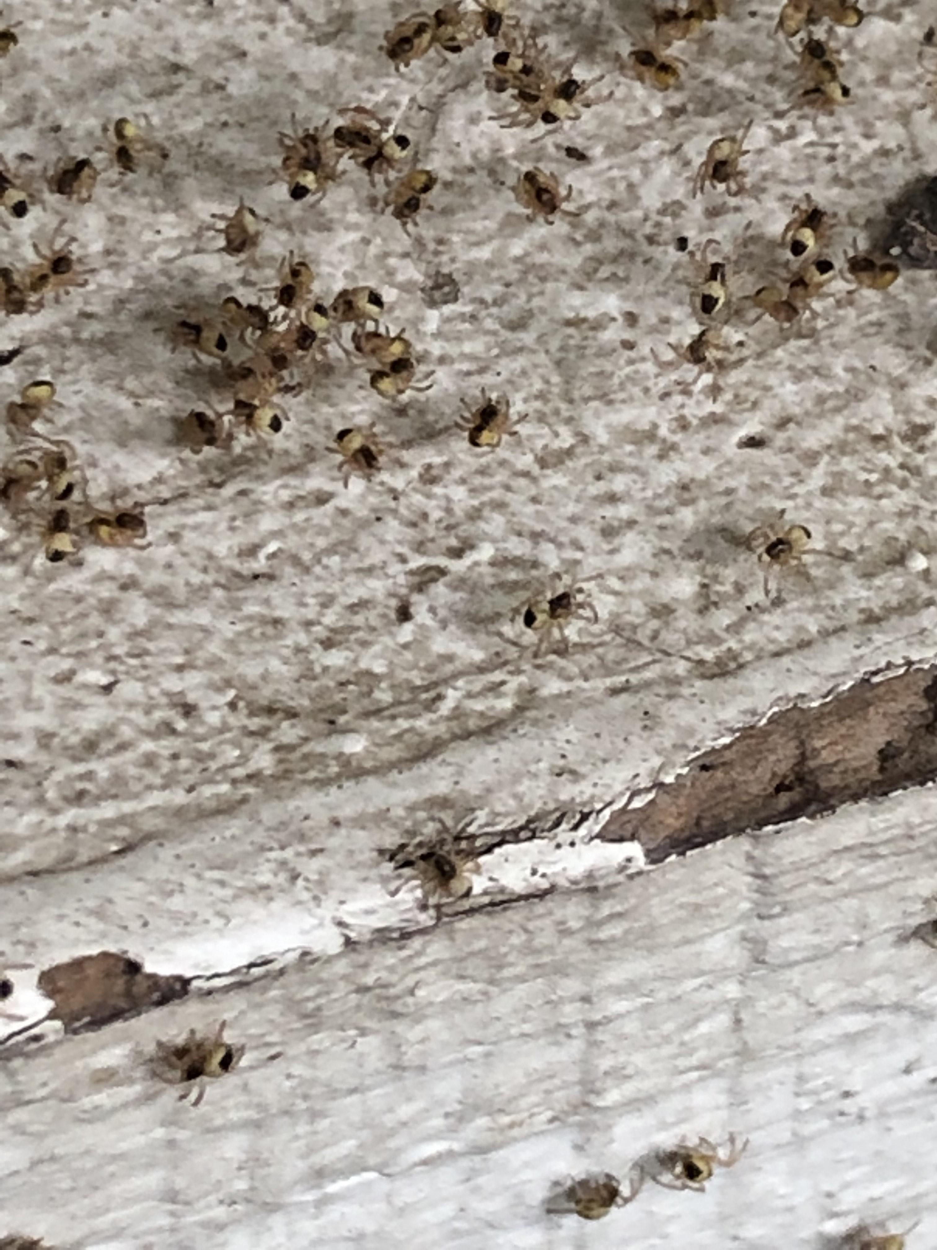 Picture of Araneidae (Orb-weavers) - Spiderlings