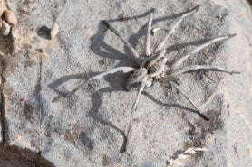 Picture of Hogna carolinensis (Carolina Wolf Spider) - Dorsal