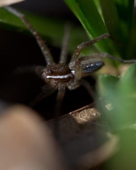 Picture of Dolomedes triton (Six-spotted Fishing Spider) - Eyes,Lateral
