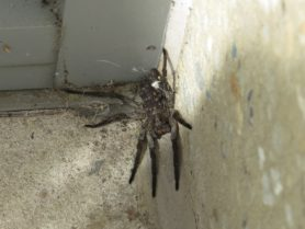 Picture of Hogna carolinensis (Carolina Wolf Spider) - Female - Dorsal,Spiderlings