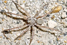 Picture of Geolycosa spp. (Burrowing Wolf Spiders) - Male - Dorsal