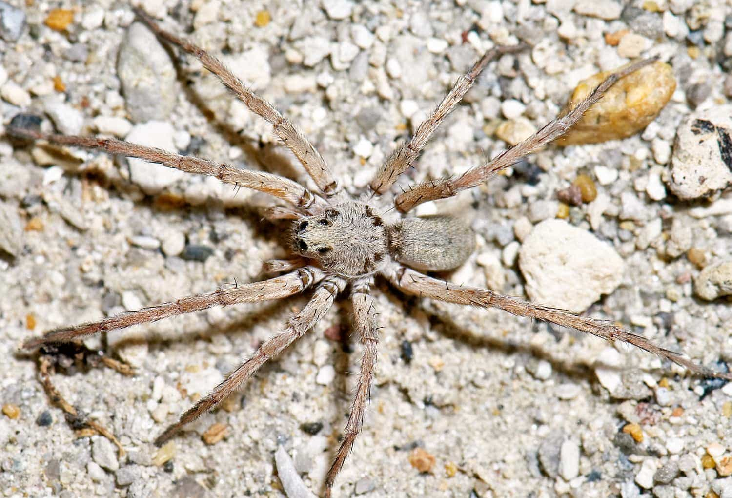 Picture of Geolycosa (Burrowing Wolf Spiders) - Male - Dorsal